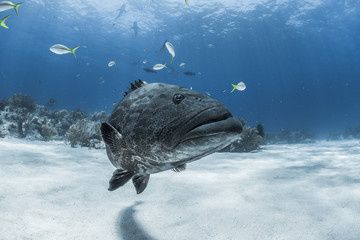 Grouper and the sharks