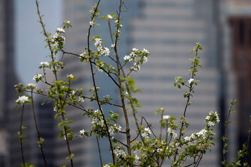 Apple blossoms are pictured on a floating barge, which is planted with fruit trees, with the Manhattan skyline in the background, as part of the Swale project called a collaborative floating forest, in the East River in the Brooklyn borough of New York