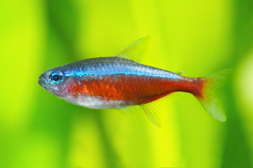 Red Neon tetra fish