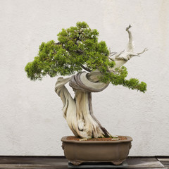 Tuinposter Bonsai Californian Juniper bonsai tree