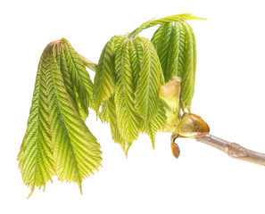 Branch of horse chestnut with young green leaves isolated on white background