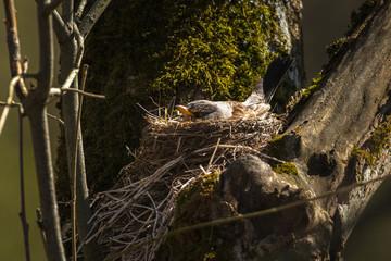 Fieldfare or Turdus pilaris nesting in a tree
