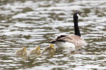 Canada Goose with Goslings (Branta Canadensis) Swimming in style. Santa Clara County, California, USA.