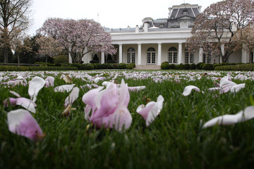 Fallen magnolia blossoms litter the rose garden lawn outside the the Oval Office at the White House in Washington