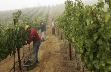 Workers pick grapes in fog shrouded vineyard at sunrise during wine harvest season in California