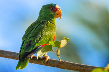 Red lored parrot (Amazona autumnalis) on the branch with blue background.