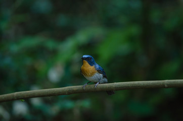 Hill Blue Flycatcher on a branch(