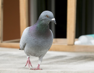speed racing pigeon standing on home loft roof