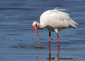 White Ibis ( Eudocimus albus) catching and eating shrimp, crabs, and small eels at Fort Desoto Park near St. Pete Beach, Florida.