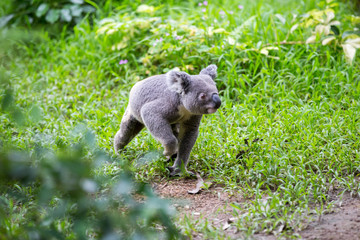 Koala runs along  path
