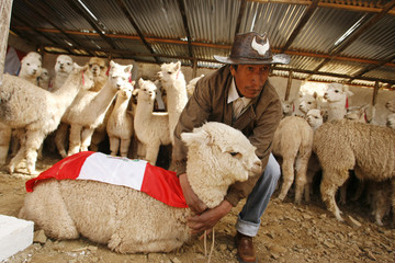 An Andean farmer catches a baby alpaca in Ticlio