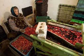 An employee sorts cranberries at a state farm in the village of Selishche