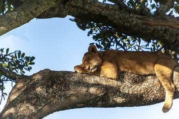 Lion cub resting, sleeping on a tree Tanzania Africa