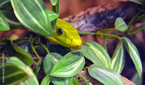 Lauerstellung Grune Mamba Stock Photo And Royalty Free Images On