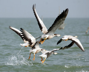 Migratory birds take off from Chilka Lake