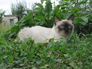 Siamese cat sitting in grass