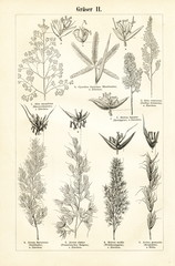 Grasses II (from Meyers Lexikon, 1895, 7/876/877)