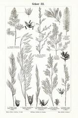 Grasses III (from Meyers Lexikon, 1895, 7/876/877)