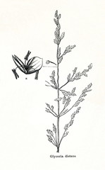 Weeping alkaligrass (Puccinellia distans) (from Meyers Lexikon, 1895, 7/876/877)