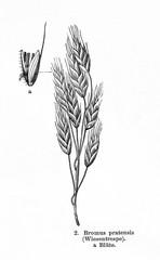 Meadow fescue (Festuca pratensis) (from Meyers Lexikon, 1895, 7/876/877)