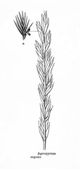 Couch grass (Elymus repens) (from Meyers Lexikon, 1895, 7/876/877)