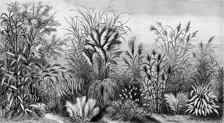Grasses V (from Meyers Lexikon, 1895, 7/876/877)