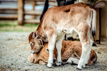 One small calf went to his lying little fellow and gently laid his head on it.