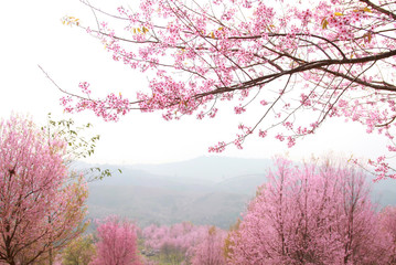 cherry pink blossomon on mountain