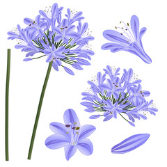 Blue Purple Agapanthus - Lily of the Nile, African Lily. Vector Illustration. isolated on White Background