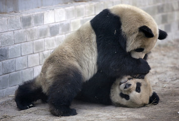 Giant pandas play in the Olympic Games Panda House at Beijing Zoo