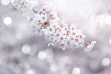 abstract cherry blossom Spring Background