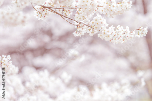 Wall mural Cherry blossom in spring with soft focus, background