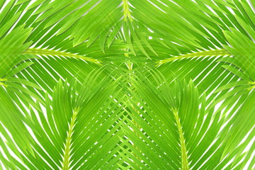 green palm coconut  tree leaves texture
