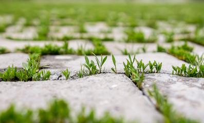 Grass through the paving slab