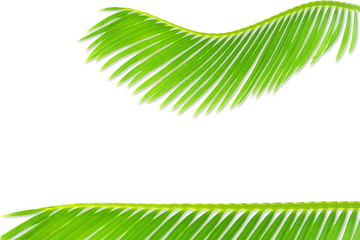 green palm coconut  tree leaves texture on white background with text copy space