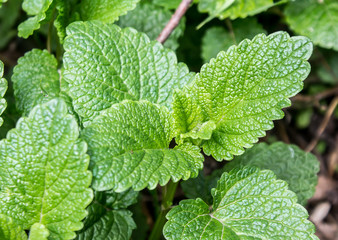 Thickets of mint