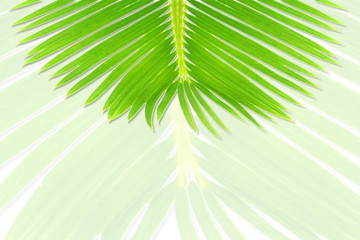 green palm coconut  tree leaves texture on bluer background with text copy space