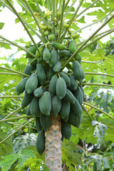 Bunch of papayas hanging from the tree.