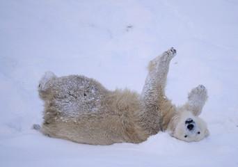 Mercedes the polar bear enjoys the snow at the Highland Wildlife Park in Kingussie