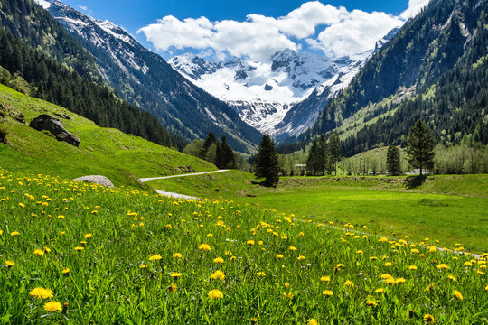 Amazing alpine spring summer landscape with green meadows flowers and snowy peak in the background. Austria, Tirol, Stillup valley.