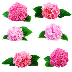 hydrangea hortensia flowers collection