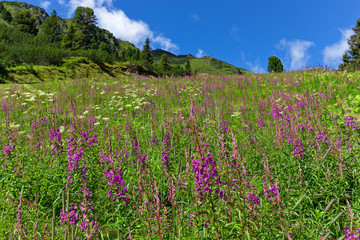 Wall Mural - Wildflowers on a alpine meadow in austrian Alps, Zillertal High Alpine Road, Austria, Tirol, Tyrol