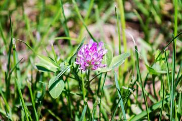Flower of clover