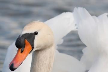 Swan poses