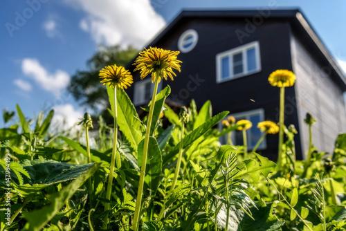 dandelion flower house wooden sky