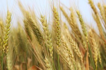 close up photo of wheat field.