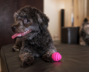 Adorable black poodle toy with pink ball