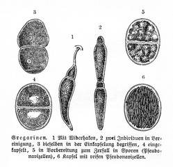 Lifecycle of gregarine (from Meyers Lexikon, 1895, 7/902)