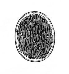 Lifecycle of gregarine -  gametocyst full of sporozoites (from Meyers Lexikon, 1895, 7/902)