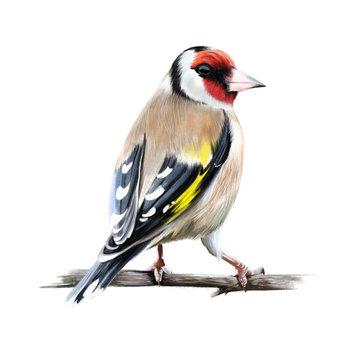 Carduelis. Genus of birds of the family of finches (Fringillidae).